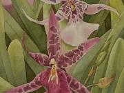 Hawaiian Orchids Series No. 11