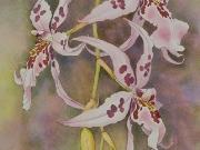 Hawaiian Orchids Series No. 14