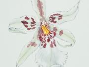 Hawaiian Orchids Series No. 6