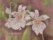 Hawaiian Orchids Series No. 18